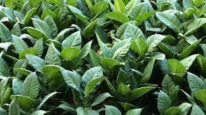 Табачные растения помогут победить вирус Зика