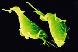 Биологические особенности возбудителя трихомониаза