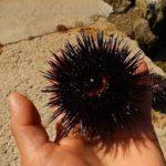 Переболевших коронавирусом хотят реабилитировать икрой морского ежа и водорослями