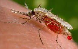 Ученые создали грибок, помогающий бороться с малярией