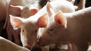 На мясоперерабатывающем предприятии обнаружили вирус африканской чумы