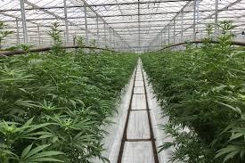 Jazz Pharmaceuticals покупает производителя медицинской марихуаны