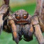 Яды пауков успешно использовали для лечения хронической боли