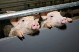 Новая вспышка в Харбине: африканская чума свиней не желает покидать Китай
