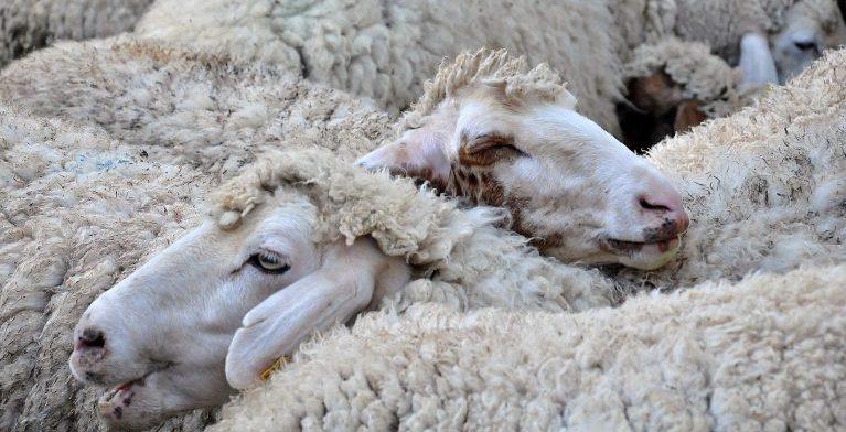 В Московской области поголовье скота страдает от вируса оспы