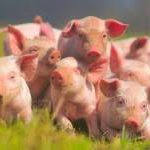 Использование антибиотиков в сельском хозяйстве предложили обложить налогом