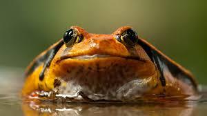Индийские лягушки выделяют вещество, которое может стать лекарством от гриппа