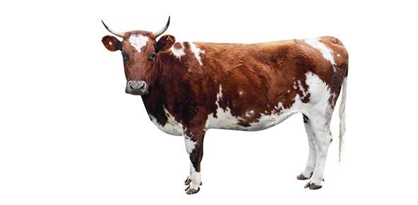 Вирус катаральной лихорадки обнаружен у импортного скота в Великобритании