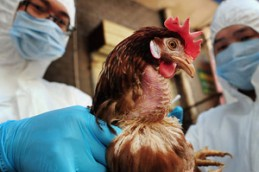 И снова птичий грипп: еще один заболевший в Китае