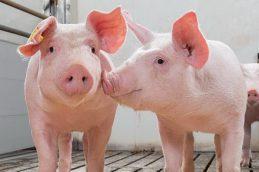 Ранее неизвестный штамм свиного гриппа обнаружен китайскими вирусологами