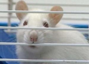 Подавляющий иммунитет препарат продлил жизнь пожилых мышей