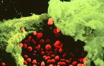 Стадии развития хламидиоза