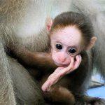 Вакцину против вируса Зика испытали на обезьянах и готовятся опробовать на людях