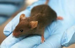 Исследователи установили генетические факторы выживания и смерти от лихорадки Эбола у мышей