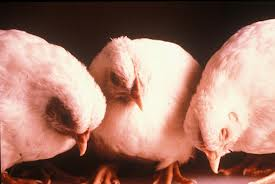 Ученые проследили эволюцию птичьего гриппа