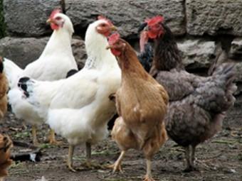 Тайваньский «куриный» грипп стал опасен для человека