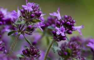 Самая мощная трава, которая уничтожает стрептококк, герпес, кандиду, вирус гриппа и лечит более 50 болезней!
