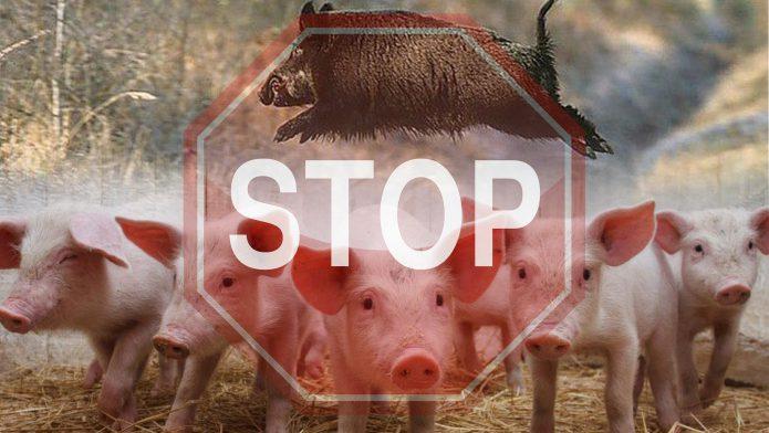 Вирус АЧС угрожает доходам и экспортным планам российских производителей свинины