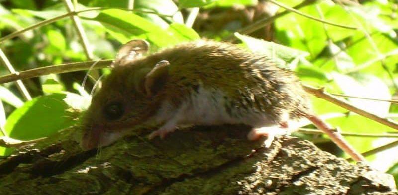 Мыши в Сан-Диего переносят смертельно опасный для человека вирус