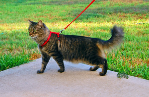 Как одеть шлейку на кота?