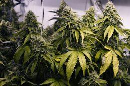 Доказанный вред употребления марихуаны