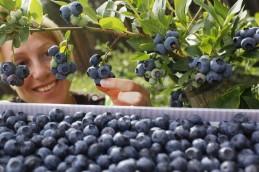 Как черника и красный виноград помогут укрепить иммунитет