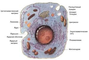 Сравнение животной и растительной клетки
