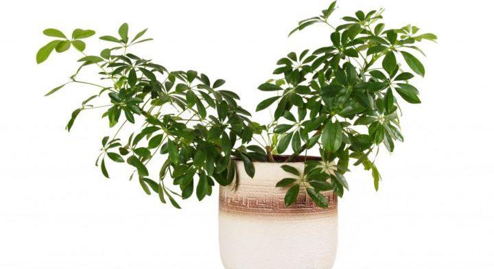 Уход за экзотическими растениями: шеффлерой и нолиной