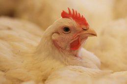 В Россельхознадзоре области сообщают о широком распространении птичьего гриппа
