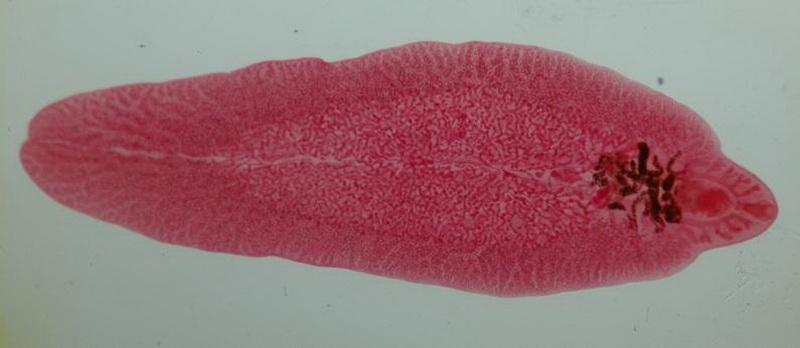 Слюна печеночного гельминта может дать средство для заживления ран