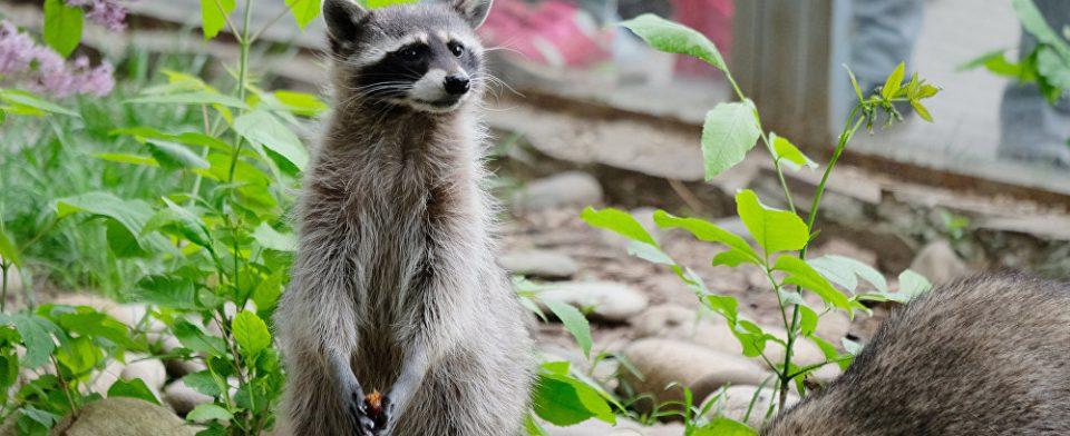 В Нью-Йоркском парке смертельный вирус превращает енотов в зомби