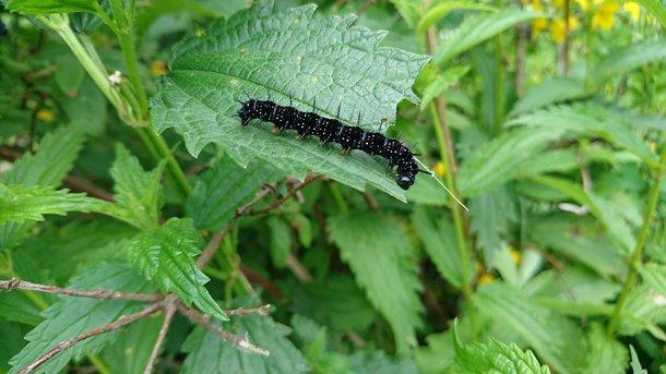 Британцев атаковали токсичные гусеницы