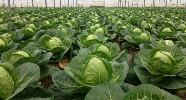 Полезные качества и свойства свежей капусты