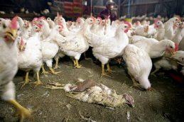 В Татарстане подавлены последние очаги птичьего гриппа