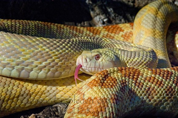 Смертельное грибковое заболевание угрожает змеям по всему миру