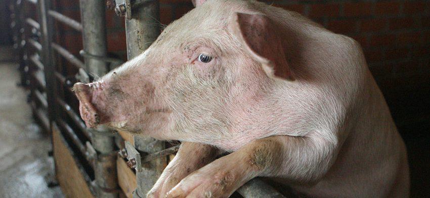 Вирус АЧС может серьезно навредить планам по экспорту мяса