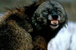 В Феодосии зафиксировано бешенство у енотовидной собаки