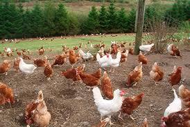 Генетики попытаются остановить вирус гриппа, изменив птичий геном