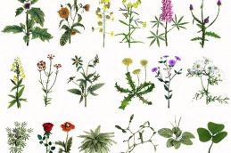 Лекарственные травы и их названия