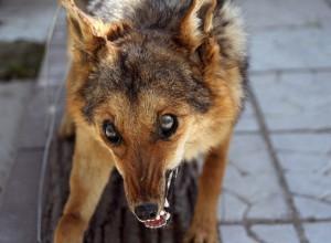 В Камышинском районе зафиксированы факты бешенства лис