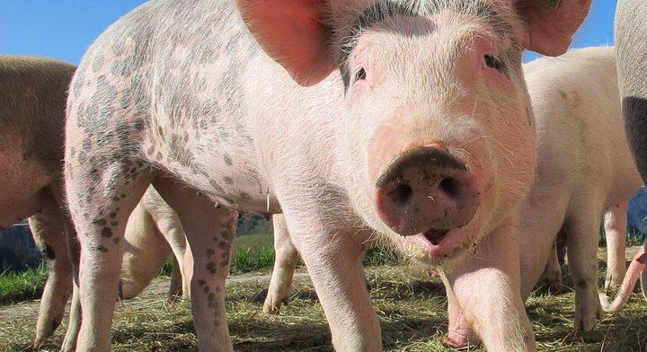 В Рязанской области участились случаи заболевания гриппом птиц и африканской чумой свиней