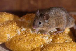 Домовые мыши могут распространять супербактерии